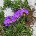 Viola calcarata calcarata - Photo (c) Christoph Moning,  זכויות יוצרים חלקיות (CC BY)