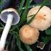 Leratiomyces percevalii - Photo (c) Damon Tighe, algunos derechos reservados (CC BY-NC)