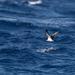 Pardela de Islas Revillagigedo - Photo (c) Ken Chamberlain, algunos derechos reservados (CC BY-NC)