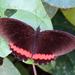 Mariposa de Borde Rojo - Photo (c) Francisco Farriols Sarabia, algunos derechos reservados (CC BY)