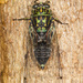 Amphipsalta zelandica - Photo (c) Karl Kroeker,  זכויות יוצרים חלקיות (CC BY-NC)