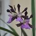 Encyclia cordigera - Photo (c) Stefano, algunos derechos reservados (CC BY-NC-SA)