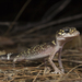 Thick-tailed Barking Gecko - Photo (c) Owen Lishmund, some rights reserved (CC BY-NC)