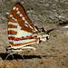 Graphium nomius - Photo (c) Jkadavoor (Jee),  זכויות יוצרים חלקיות (CC BY-NC-SA)