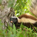 Hog-nosed Skunks - Photo (c) admss, some rights reserved (CC BY-NC)