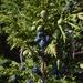 Juniperus pseudosabina - Photo (c) Aleksandr Naumenko, osa oikeuksista pidätetään (CC BY-NC)