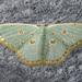 Comostola laesaria - Photo (c) msone, algunos derechos reservados (CC BY-NC-ND)