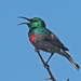 Cinnyris Sunbirds - Photo (c) Felix Riegel, some rights reserved (CC BY-NC)