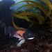 Semicossyphus pulcher - Photo (c) Programa Marino del Golfo de California, μερικά δικαιώματα διατηρούνται (CC BY-NC-SA)
