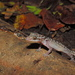 Marbled Bow-fingered Gecko - Photo (c) fatahabib92, some rights reserved (CC BY-NC)