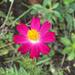 Coreopsis rosea - Photo (c) Bruno Cardoso, μερικά δικαιώματα διατηρούνται (CC BY-NC)