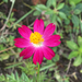 Rose Coreopsis - Photo (c) Bruno Cardoso, some rights reserved (CC BY-NC)