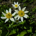 White Marsh Marigold - Photo (c) mhays, some rights reserved (CC BY-NC)