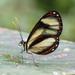 Ithomia salapia - Photo Δεν διατηρούνται δικαιώματα