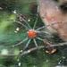 Aglaoctenus castaneus - Photo ללא זכויות יוצרים