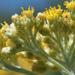Helichrysum revolutum - Photo (c) Felix Riegel, algunos derechos reservados (CC BY-NC)