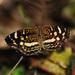 Anthanassa tulcis - Photo (c) Jerry Oldenettel,  זכויות יוצרים חלקיות (CC BY-NC-SA)