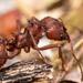 Hormigas Cortadoras de Hojas - Photo (c) David Louis Quinn, algunos derechos reservados (CC BY-NC)