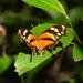 Mariposa Hojarasca Tigre - Photo (c) ricardo_sanchez, algunos derechos reservados (CC BY-NC)