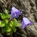Adenophora morrisonensis - Photo (c) mutolisp, algunos derechos reservados (CC BY-NC-SA)
