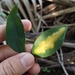 Chilocampyla dyariella - Photo (c) Joe MDO, osa oikeuksista pidätetään (CC BY-NC)