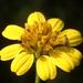Wollastonia biflora - Photo (c) 葉子,  זכויות יוצרים חלקיות (CC BY-NC-ND)