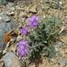 Saussurea pricei - Photo (c) inessa_naturalist,  זכויות יוצרים חלקיות (CC BY-NC)