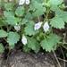 Linderniaceae - Photo (c) Troos van der Merwe, algunos derechos reservados (CC BY-NC)