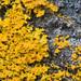 Bare-bottomed Sunburst Lichen - Photo (c) Vladimir Bryukhov, some rights reserved (CC BY-NC)