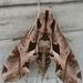 Polilla Esfinge de Triángulos - Photo (c) soyregatas, algunos derechos reservados (CC BY-NC)