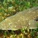 Platycephalus fuscus - Photo (c) Richard Ling, μερικά δικαιώματα διατηρούνται (CC BY-NC-ND)
