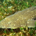 Platycephalus fuscus - Photo (c) Richard Ling, algunos derechos reservados (CC BY-NC-ND)