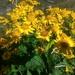 Jacobaea alpina - Photo (c) alessandro longhi, algunos derechos reservados (CC BY-NC-ND)