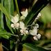 Gomphocarpus physocarpus - Photo (c) Chief RedEarth, μερικά δικαιώματα διατηρούνται (CC BY-NC-ND)
