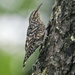 African Spotted Creeper - Photo (c) Nik Borrow, some rights reserved (CC BY-NC)