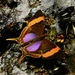 Daggerwings - Photo (c) desertnaturalist, some rights reserved (CC BY)