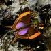 Mariposas Alas de Daga - Photo (c) desertnaturalist, algunos derechos reservados (CC BY)