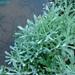 Helichrysum luteoalbum - Photo (c) Valter Jacinto, μερικά δικαιώματα διατηρούνται (CC BY-NC-SA)