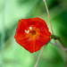 Ipomoea cristulata - Photo (c) Paul Asman and Jill Lenoble,  זכויות יוצרים חלקיות (CC BY)