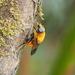 Aneriophora aureorufa - Photo (c) philbenstead,  זכויות יוצרים חלקיות (CC BY-NC)