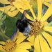 Bombus volucelloides - Photo (c) Dan MacNeal, algunos derechos reservados (CC BY)