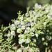 Juniperus monosperma - Photo (c) Paul Asman and Jill Lenoble, osa oikeuksista pidätetään (CC BY)