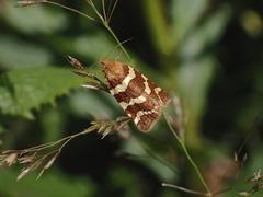 Banded Leafroller Moth