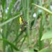Leucauge acuminata - Photo (c) Eric van den Berghe, algunos derechos reservados (CC BY-NC)
