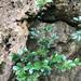 Diospyros ferrea - Photo (c) Cheng-Tao Lin,  זכויות יוצרים חלקיות (CC BY)