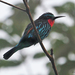 Black Bee-Eater - Photo (c) Nik Borrow, some rights reserved (CC BY-NC)