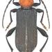 Ropalopus sanguinicollis - Photo (c) pierrickb, algunos derechos reservados (CC BY-NC)