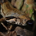 Santa Lucía Boa Constrictor - Photo (c) Edward Bell, some rights reserved (CC BY)