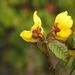 Cochlospermum - Photo (c) Daniel Onea, some rights reserved (CC BY-NC)