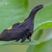 Two-marked Treehopper - Photo (c) Eduardo Axel Recillas Bautista, some rights reserved (CC BY-NC)